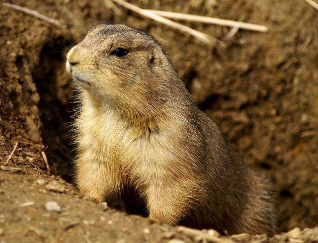 783px-Prairie_Dog_Washington_DC_1