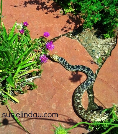 bull snake in the yard