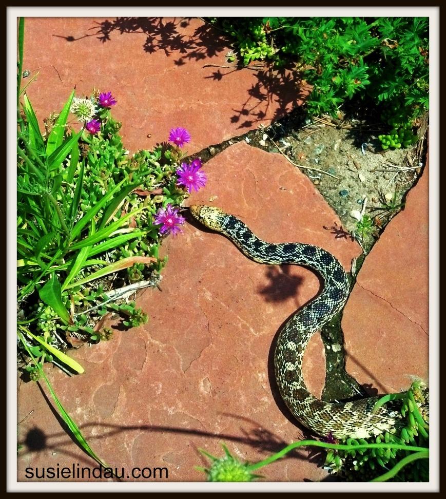 bull snake in yard