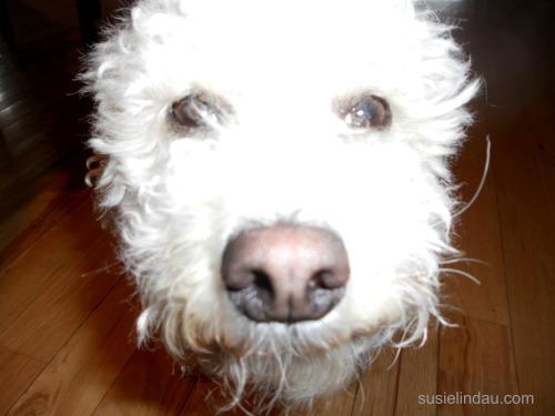 Roxydoodle big nose