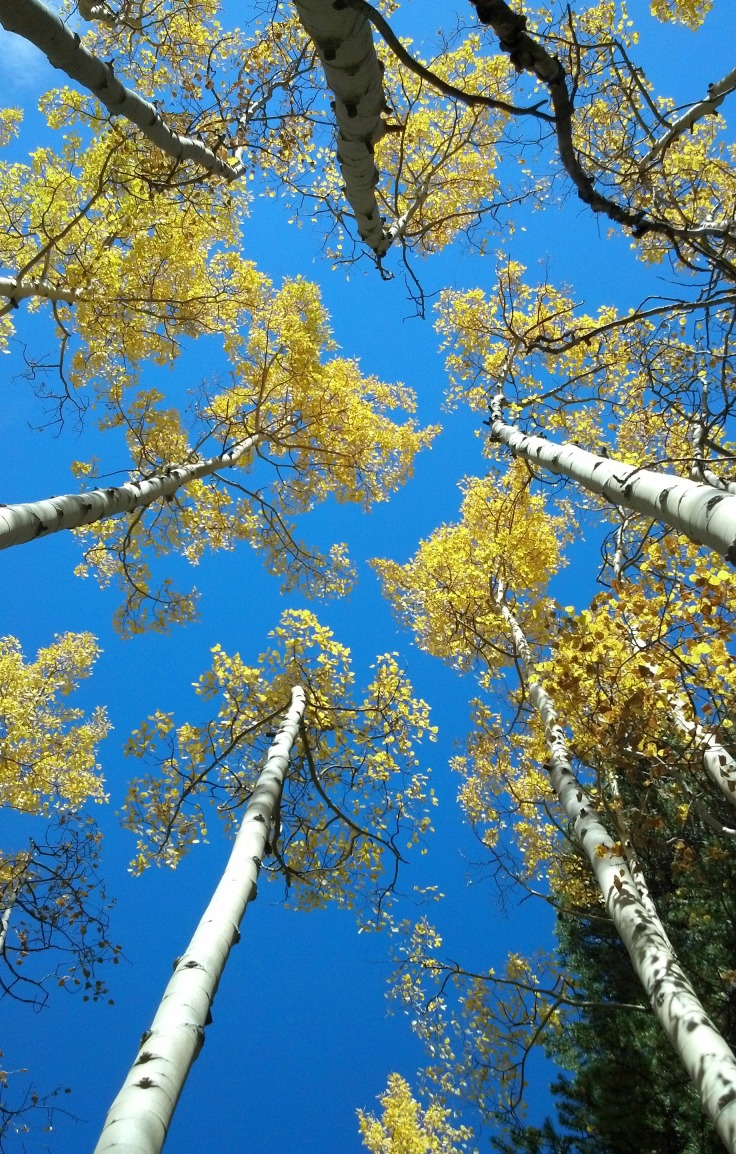 Heads up in aspens