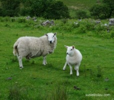 Sheep on Arran Island