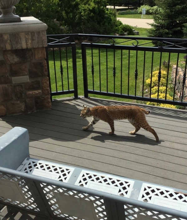 Bobcat on a deck