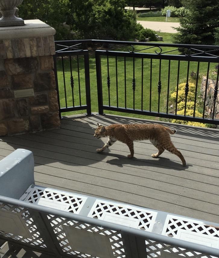 Bobcat on a deck