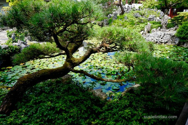 Gorgeous pine over the Chinese Garden pond Vancouver.
