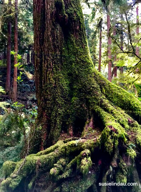 A tree trunk in Oregon covered with moss
