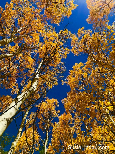 Aspen Alley in Breckenridge. Tree tops. Click for fall color! Colorado, Travel North America, Travel tips, Travel United States, Fall color, Autumn #travel #traveltips #colorado #fallcolor #leafpeeping