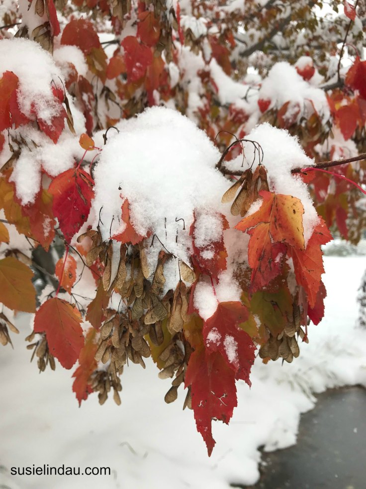 Guinella Maples in October Colorado Snowstorm. Click for photos of this amazing storm! Outdoors, Outdoor adventures, Travel North America, Boulder, Colorado, Photography #outdoors #photography #colorado #travel #Northamerica