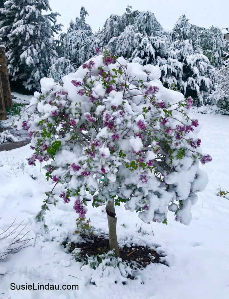 May Colorado Snowstorm of 2019. Click for photos of this crazy storm!