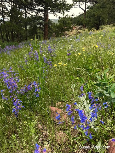 Beautiful Boulder wildflowers on Mount Sanitas