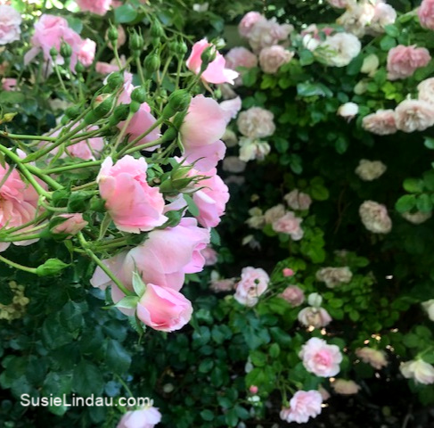 Fairy Roses on a Midsummer Night