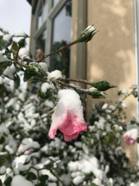 A snow covered rose bush