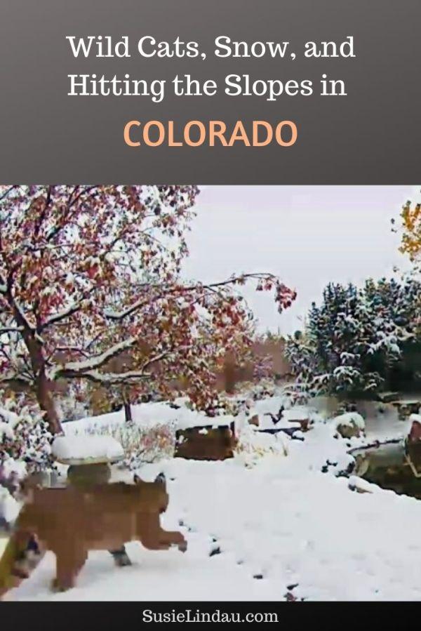 Wild Cats, Snow, and Hitting the Slopes in Colorado! Outdoor Adventure, Skiing, Ski Resorts, Breckenridge, Keystone #Coloradotravel #wildlife #outdooradventure