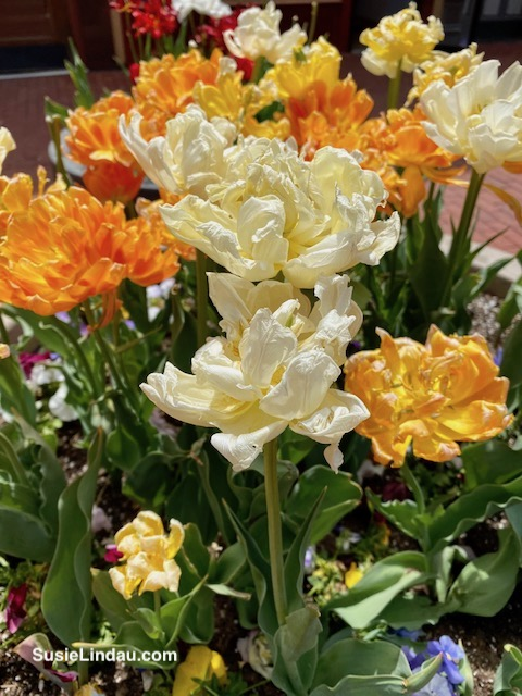 Double tulips cream gold Pearl Street Boulder Colorado