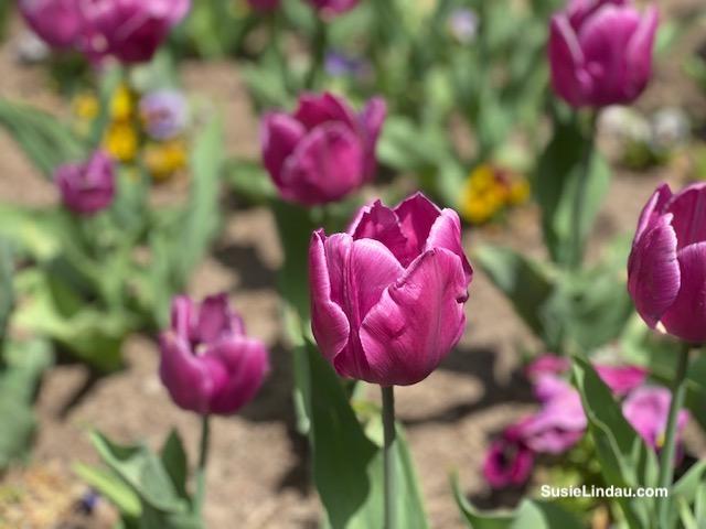Pink tulips Pearl Street in Boulder in macro mode