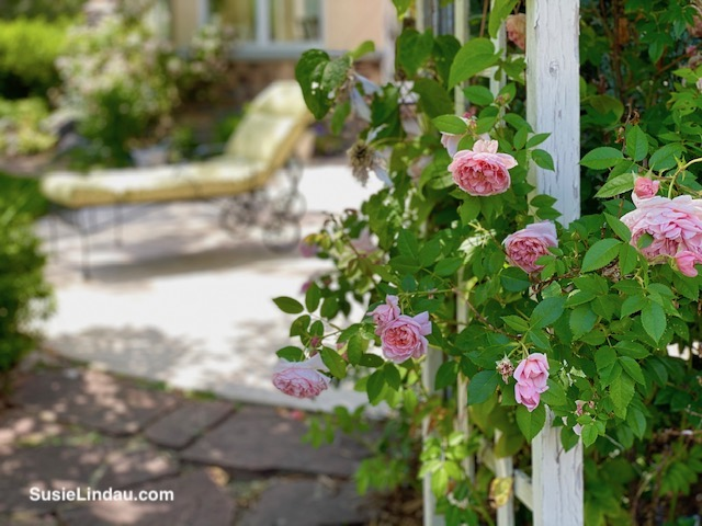 my favorite roses on the trellis
