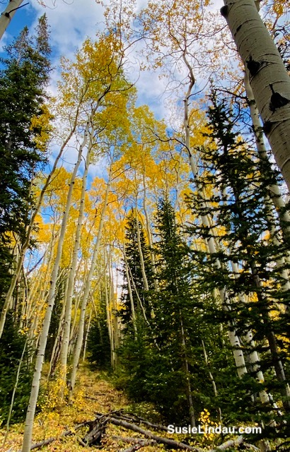Aspens and fir fall color in Breckenridge