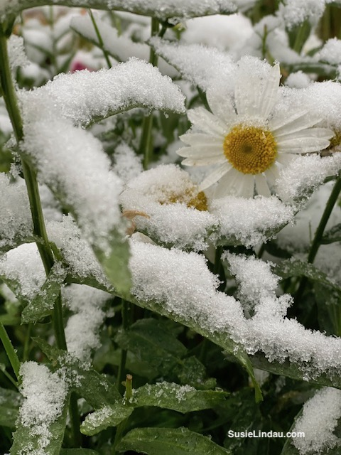 Daisy under snow