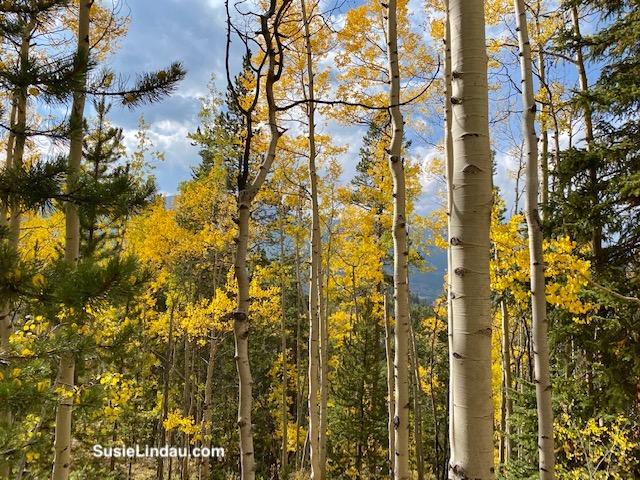 Golden aspens in Breckenridge