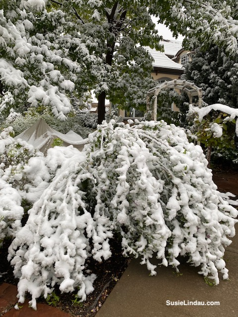 Snowy boughs of Rose of Sharon