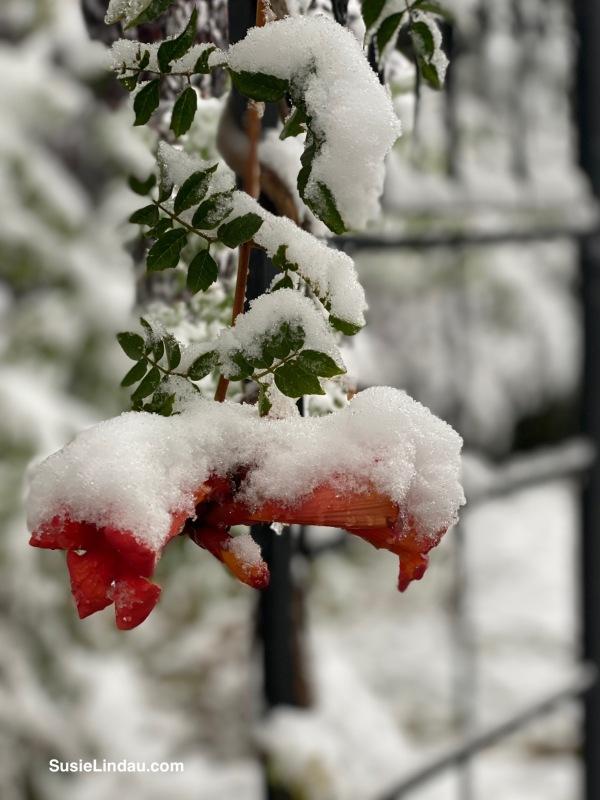 Snowy trumpet vine